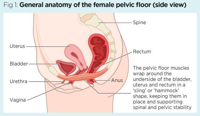 Pelvic Antomy